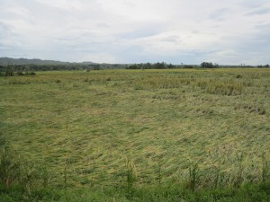 Rice crops destroyed by the typhoon